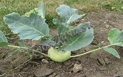 Как правильно выращивать Кольраби